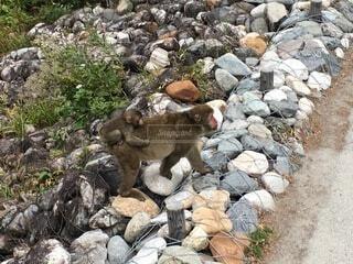 岩の上に立つ羊の群れの写真・画像素材[4876001]