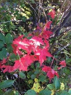 秋 色付く紅葉の写真・画像素材[4873511]