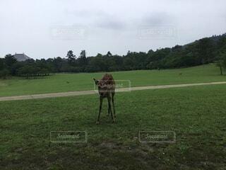 ウロウロする奈良の鹿の写真・画像素材[4873821]