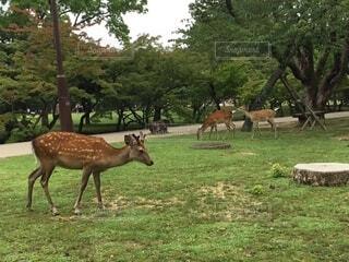 ウロウロする奈良の鹿の写真・画像素材[4873822]