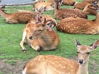 一休みする奈良の鹿の写真・画像素材[4873823]