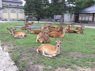 一休みする奈良の鹿の写真・画像素材[4873824]