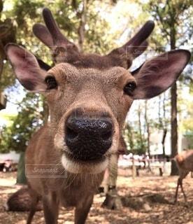 覗き込む鹿の写真・画像素材[4875761]