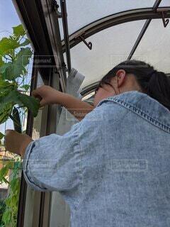 胡瓜の収穫の写真・画像素材[4873339]