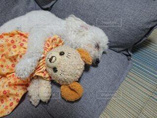 ぬいぐるみを抱いて寝る犬の写真・画像素材[4873347]