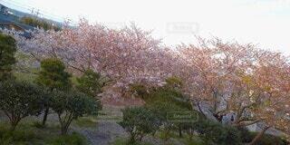 桜、初めの季節の写真・画像素材[4873105]