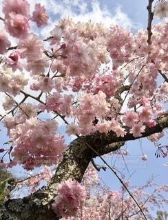 桜の写真・画像素材[4877361]
