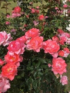 薔薇のアーチの写真・画像素材[4873294]