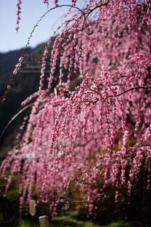 紫色の花のグループの写真・画像素材[4874516]