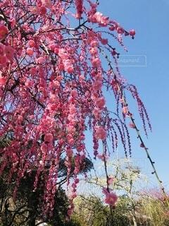 木の上のピンクの花のグループの写真・画像素材[4874515]