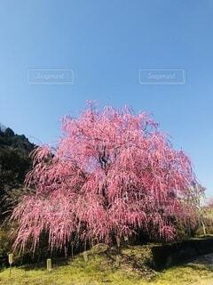 大きな梅の木の写真・画像素材[4874541]
