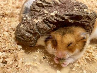 寝ながら餌を食べるハムスターの写真・画像素材[4873751]