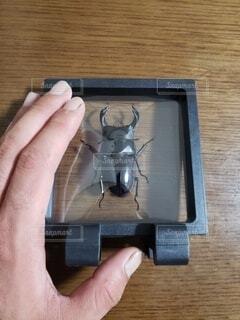オオクワガタの標本の写真・画像素材[4895404]