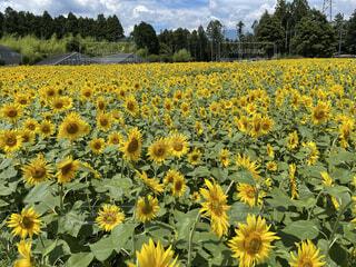 ひまわり畑の写真・画像素材[4873991]
