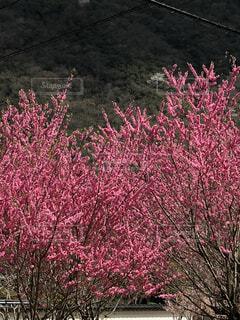 ピンクの花を持つ木の写真・画像素材[4874028]