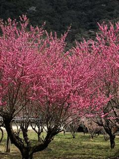 畑にピンクの花を咲かせる木の写真・画像素材[4874029]