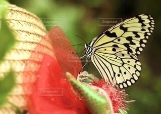 麦わら帽子とアゲハ蝶の写真・画像素材[4886288]