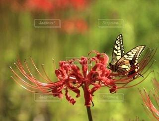 彼岸花とアゲハ蝶の写真・画像素材[4886334]