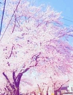 満開の桜の写真・画像素材[4874054]