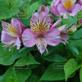 ピンクの花02の写真・画像素材[4874328]