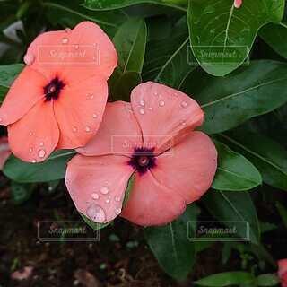 緑の葉のピンクの花の写真・画像素材[4874330]