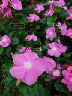 たくさんのピンク色の花の写真・画像素材[4874478]