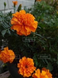 マリーゴールドの写真・画像素材[4874476]