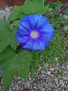 青い朝顔の写真・画像素材[4874481]