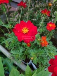 赤い花の写真・画像素材[4874484]