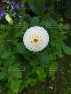 丸い花の写真・画像素材[4874488]