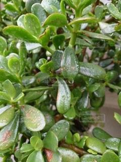 肉厚の葉と雫の写真・画像素材[4874490]