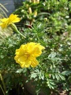 黄色のマリーゴールドの写真・画像素材[4879786]