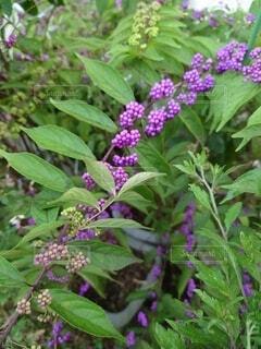 紫の実と葉の写真・画像素材[4879772]