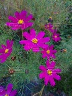 ピンクのコスモスの写真・画像素材[4879774]