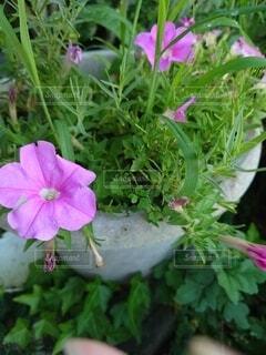 ピンク色の花の写真・画像素材[4879791]