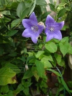 紫色の花の写真・画像素材[4879794]