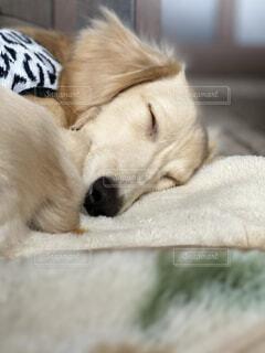犬の寝顔の写真・画像素材[4874524]