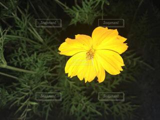 夜の黄色い花の写真・画像素材[4887976]