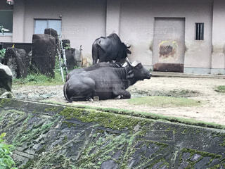 建物の上に横たわる牛の群れの写真・画像素材[4922357]