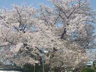 桜の写真・画像素材[4879850]