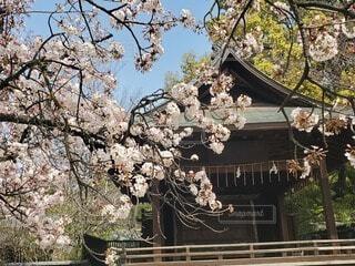 桜と神社の写真・画像素材[4879868]