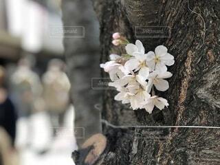 【春×花見】桜のクローズアップの写真・画像素材[4878370]