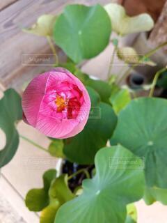 蓮の蕾の写真・画像素材[4945670]