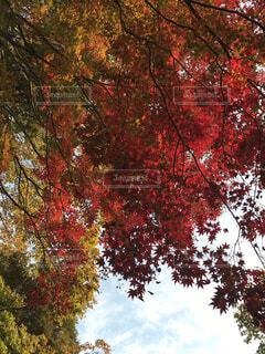 紅葉狩りの写真・画像素材[4893701]