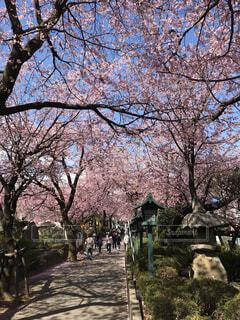 桜と青空の写真・画像素材[4936246]