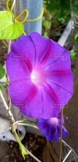 紫色の朝顔の写真・画像素材[4887011]