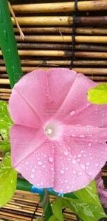 水滴のついた朝顔の写真・画像素材[4902523]