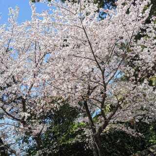 サクラの木の写真・画像素材[4875473]