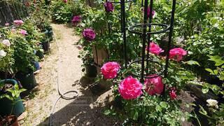 バラの庭園 お庭の写真・画像素材[4875469]