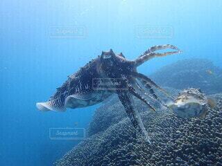 自由に泳ぐイカの写真・画像素材[4875855]